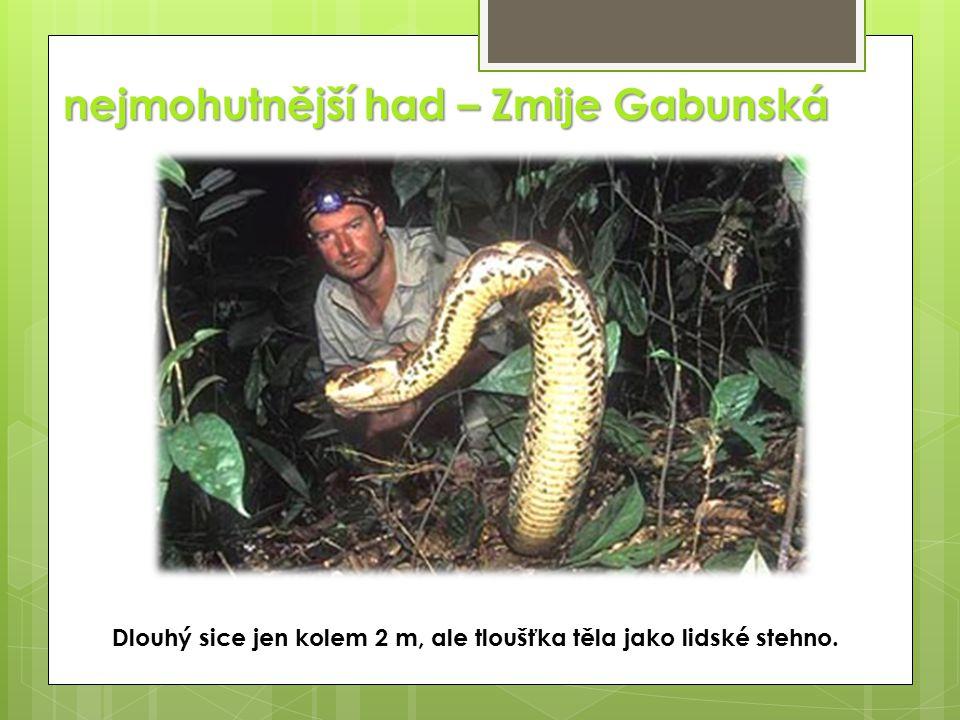 nejmohutnější had – Zmije Gabunská Dlouhý sice jen kolem 2 m, ale tloušťka těla jako lidské stehno.