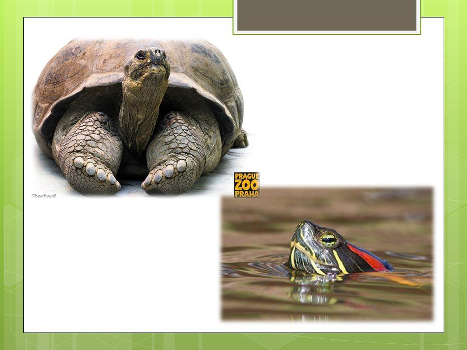 Želva žlutohnědá SUCHOZEMSKÉ