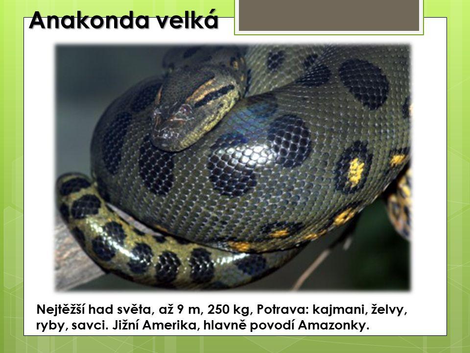 Anakonda velká Nejtěžší had světa, až 9 m, 250 kg, Potrava: kajmani, želvy, ryby, savci.