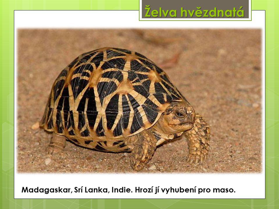 Želva hvězdnatá Madagaskar, Srí Lanka, Indie. Hrozí jí vyhubení pro maso.
