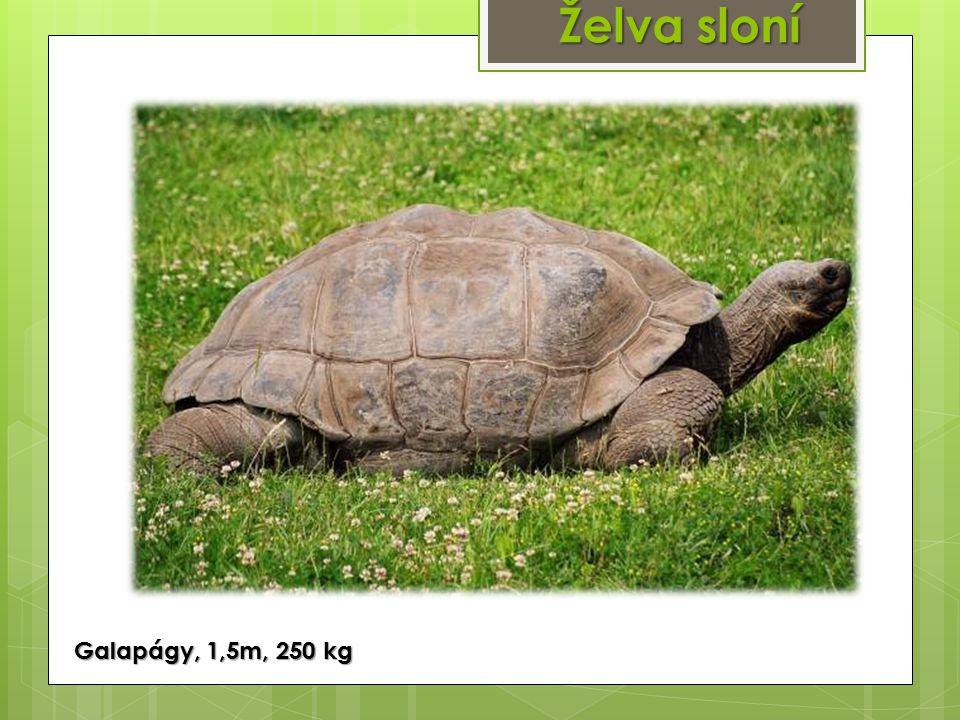 Želva sloní Galapágy, 1,5m, 250 kg