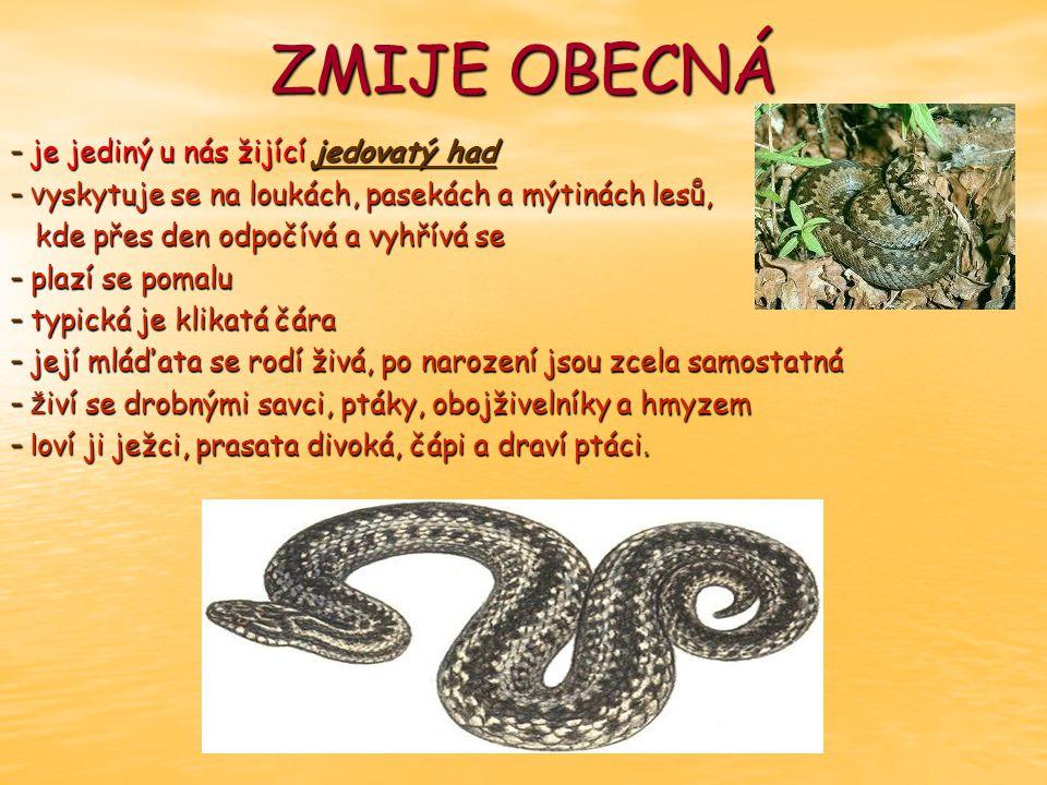 ZMIJE OBECNÁ - je jediný u nás žijící jedovatý had - v yskytuje se na loukách, pasekách a mýtinách lesů, kde přes den odpočívá a vyhřívá se kde přes den odpočívá a vyhřívá se - plazí se pomalu - typická je klikatá čára - její mláďata se rodí živá, po narození jsou zcela samostatná - ž iví se drobnými savci, ptáky, obojživelníky a hmyzem - l oví ji ježci, prasata divoká, čápi a draví ptáci.