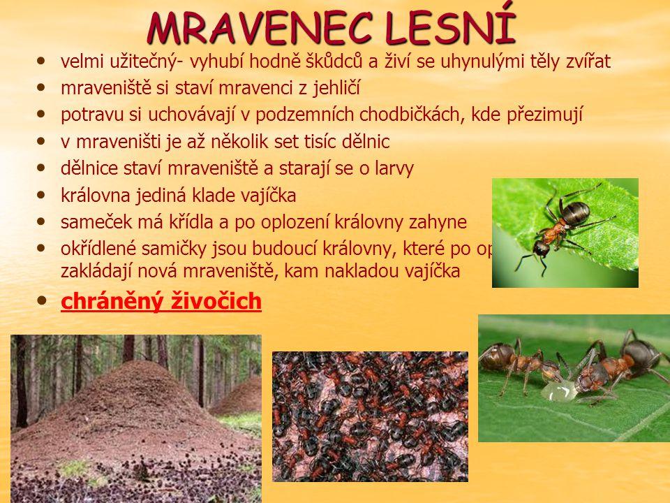 MRAVENEC LESNÍ velmi užitečný- vyhubí hodně škůdců a živí se uhynulými těly zvířat mraveniště si staví mravenci z jehličí potravu si uchovávají v podzemních chodbičkách, kde přezimují v mraveništi je až několik set tisíc dělnic dělnice staví mraveniště a starají se o larvy královna jediná klade vajíčka sameček má křídla a po oplození královny zahyne okřídlené samičky jsou budoucí královny, které po oplodnění zakládají nová mraveniště, kam nakladou vajíčka chráněný živočich