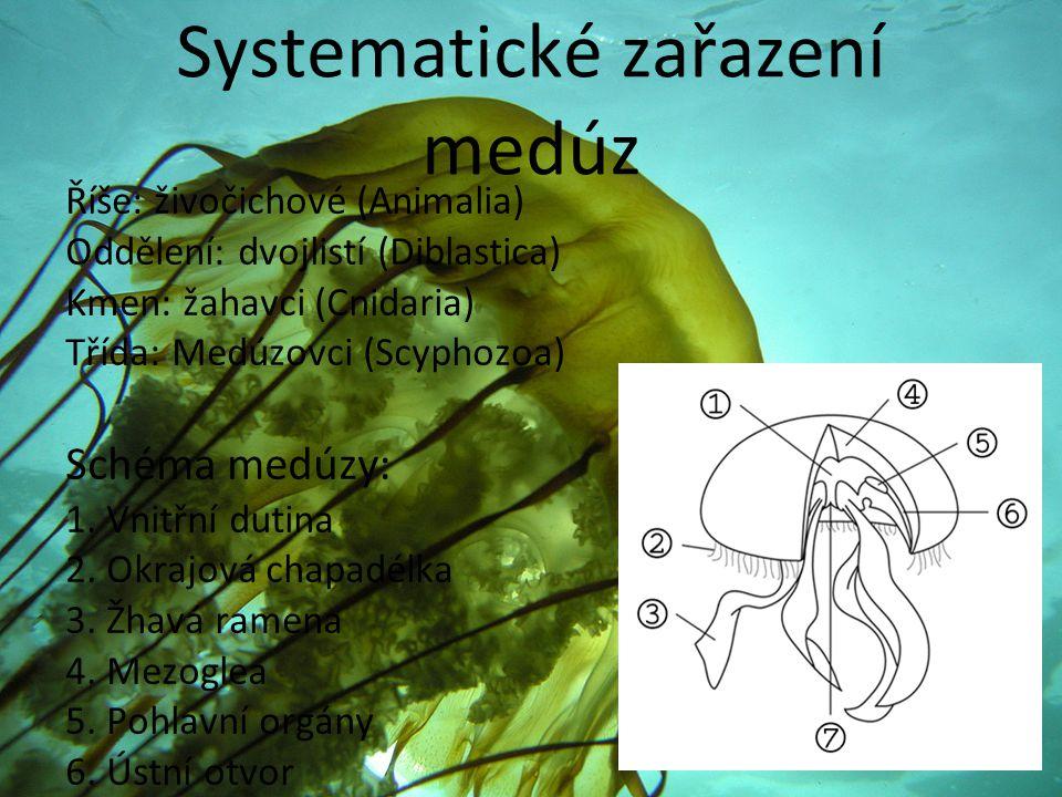 Systematické zařazení medúz Říše: živočichové (Animalia) Oddělení: dvojlistí (Diblastica) Kmen: žahavci (Cnidaria) Třída: Medúzovci (Scyphozoa) Schéma