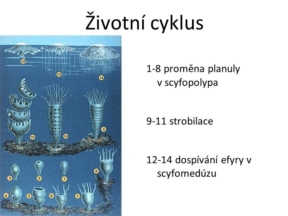 20.12.2014 Životní cyklus 1-8 proměna planuly v scyfopolypa 9-11 strobilace 12-14 dospívání efyry v scyfomedúzu