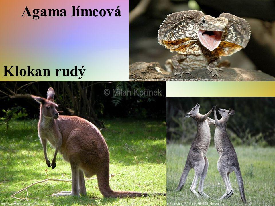pes Dingo tasmánský čert
