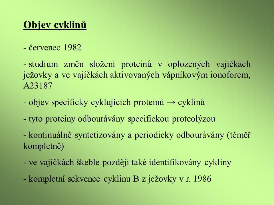 - srovnání s cyklinem A ze škeble (Spisula) ukázalo silnou homologii, nepřipomínaly nic ze současné databáze, ne protein kinázy - inhibice DNA syntézy ve vajíčkách ježovky vede ke stabilizaci hladin cyklinů A a B - odbourání cyklinů na přechodu metafáze/anafáze - po vstupu do mitózy mizí nejprve cyklin A, v zápětí cyklin B, běžící proteolýza brání okamžité opětovné akumulaci - později cykliny B1, B2 a A1 objeveny i u žáby Xenopus