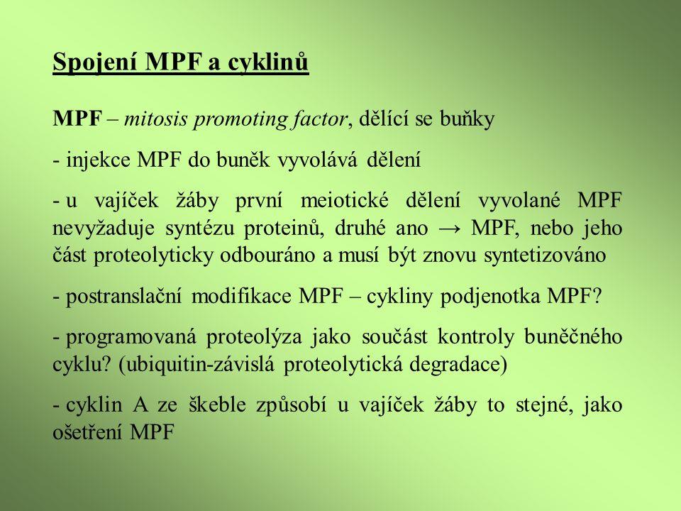 Spojení MPF a cyklinů MPF – mitosis promoting factor, dělící se buňky - injekce MPF do buněk vyvolává dělení - u vajíček žáby první meiotické dělení vyvolané MPF nevyžaduje syntézu proteinů, druhé ano → MPF, nebo jeho část proteolyticky odbouráno a musí být znovu syntetizováno - postranslační modifikace MPF – cykliny podjenotka MPF.