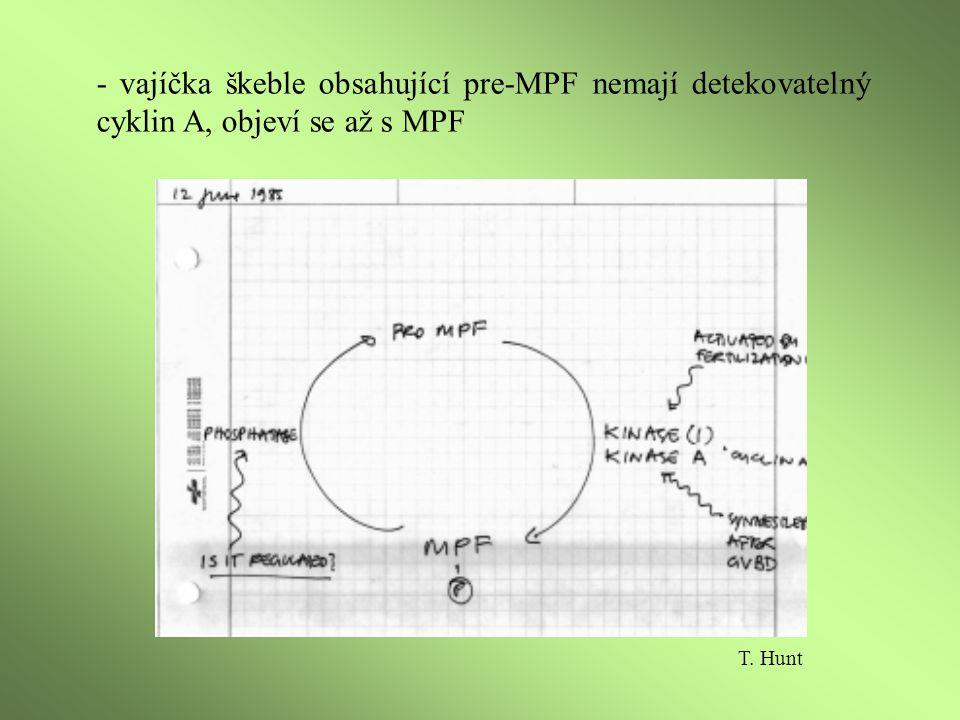 -purifikovaný MPF z Xenopus vykazoval histon kinázovou aktivitu a obsahoval cyklin B - CDK (cyklin dependentní kinázy) vyžadují ke své aktivaci cykliny, aktivaci komplexu zvyšují CAK (CDK aktivační kinázy) CDK2 navázaná na C-terminální fragment cyklinu A T.