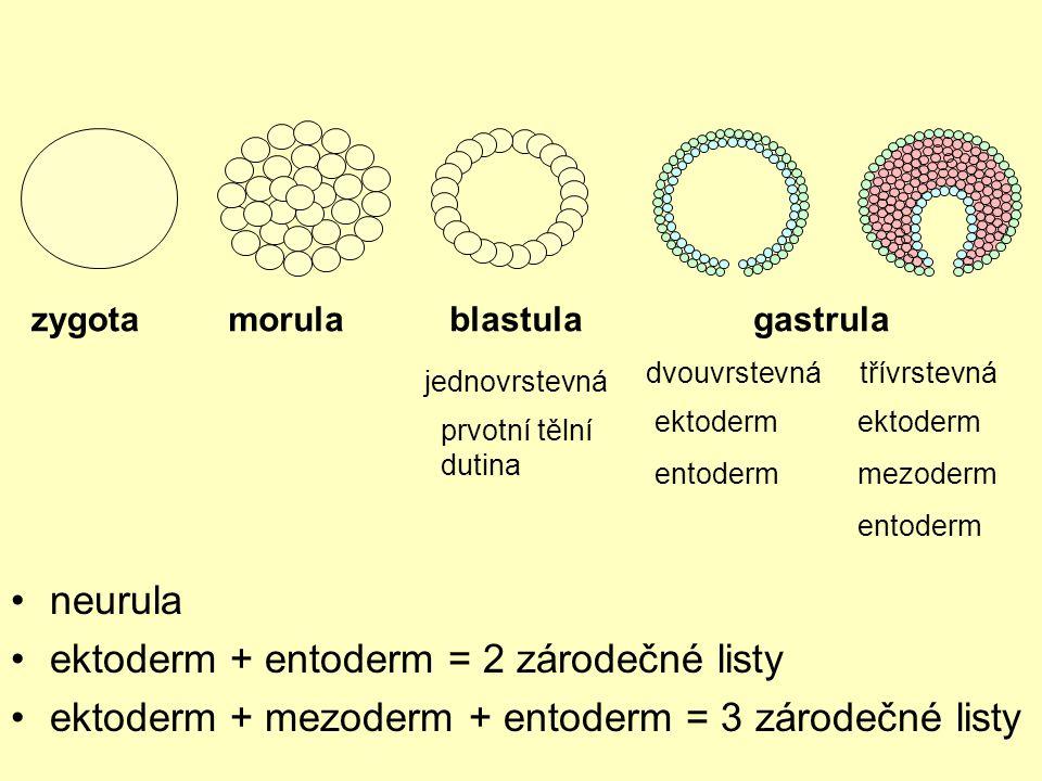 zygotamorulablastulagastrula jednovrstevná dvouvrstevnátřívrstevná prvotní tělní dutina ektoderm entoderm ektoderm mezoderm entoderm neurula ektoderm