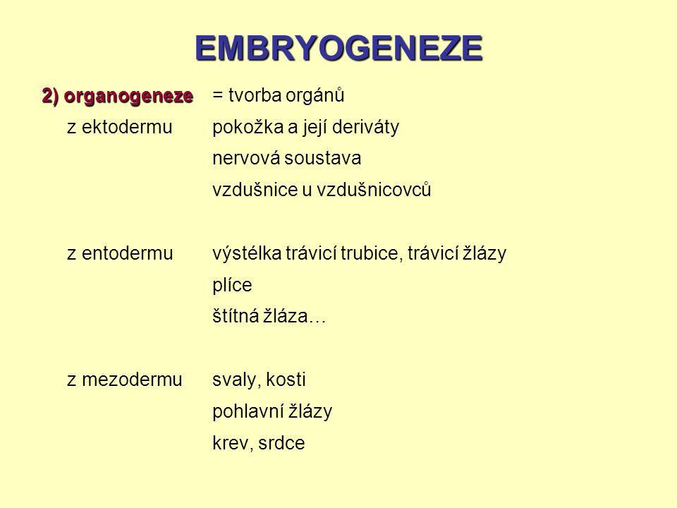 EMBRYOGENEZE 2) organogeneze z ektodermu z entodermu z mezodermu = tvorba orgánů pokožka a její deriváty nervová soustava vzdušnice u vzdušnicovců výs