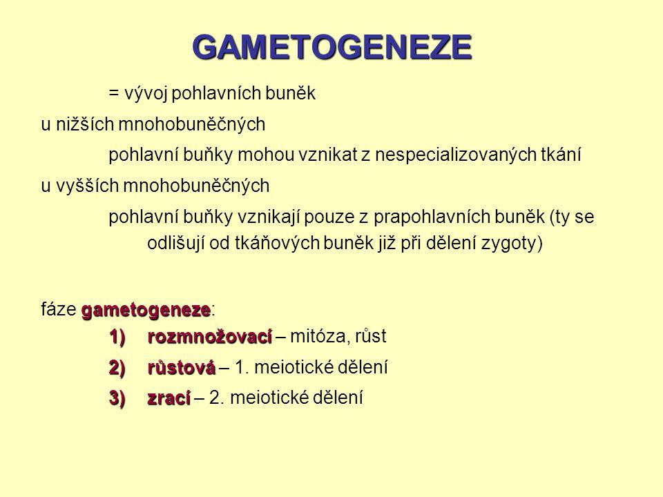 GAMETOGENEZE u nižších mnohobuněčných u vyšších mnohobuněčných gametogeneze fáze gametogeneze: = vývoj pohlavních buněk pohlavní buňky mohou vznikat z