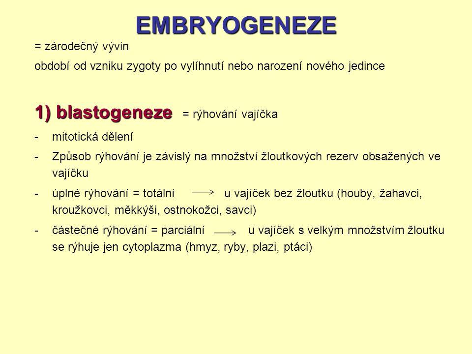 EMBRYOGENEZE = zárodečný vývin období od vzniku zygoty po vylíhnutí nebo narození nového jedince 1) blastogeneze 1) blastogeneze = rýhování vajíčka -m