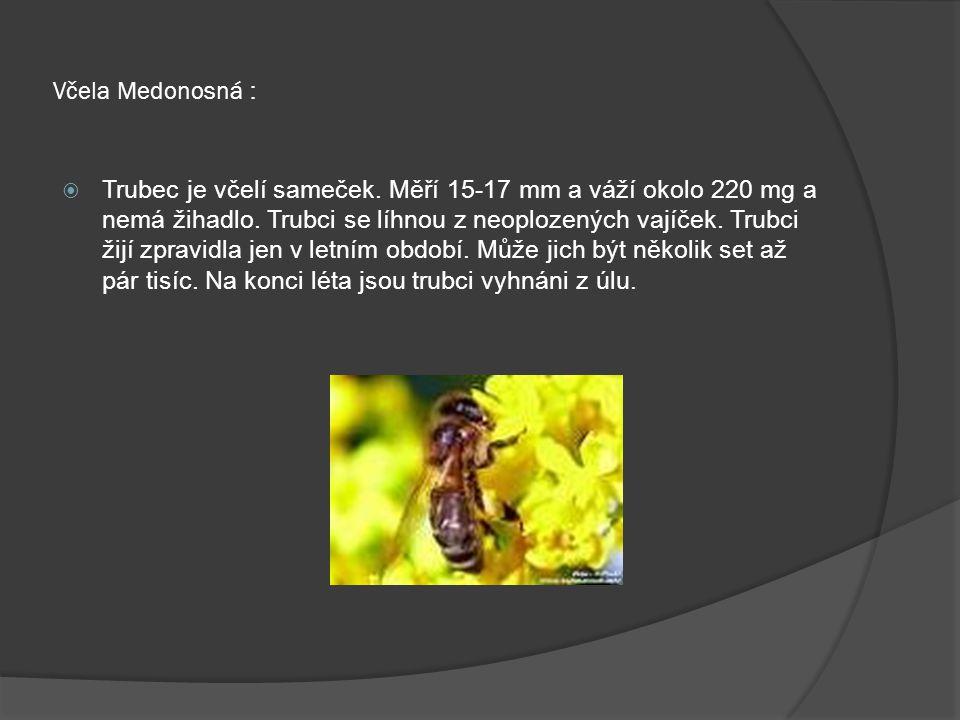 Včela Medonosná :  Trubec je včelí sameček. Měří 15-17 mm a váží okolo 220 mg a nemá žihadlo. Trubci se líhnou z neoplozených vajíček. Trubci žijí zp