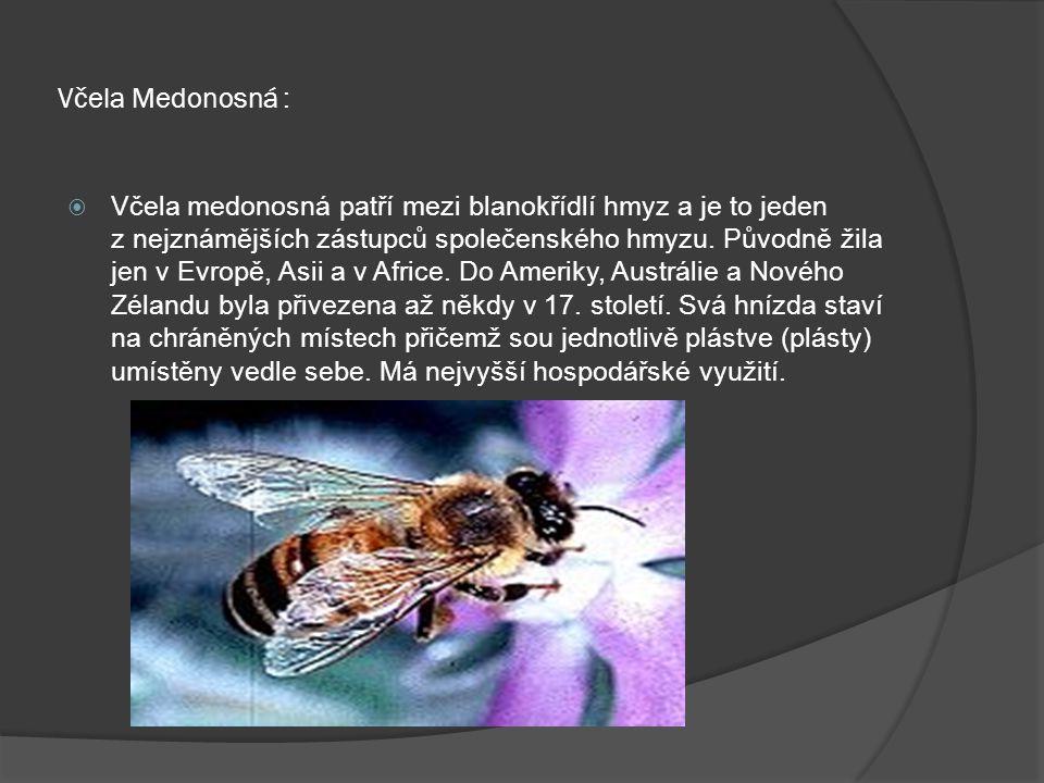 Včela Medonosná :  Včela medonosná patří mezi blanokřídlí hmyz a je to jeden z nejznámějších zástupců společenského hmyzu. Původně žila jen v Evropě,