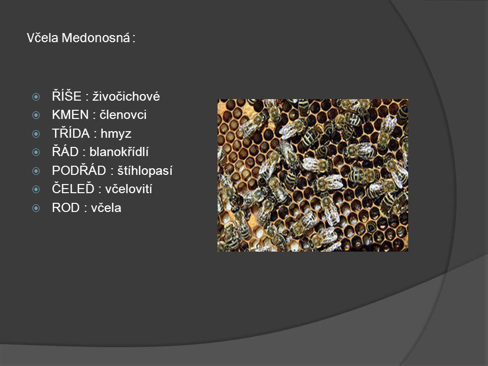 Včela Medonosná :  ŘÍŠE : živočichové  KMEN : členovci  TŘÍDA : hmyz  ŘÁD : blanokřídlí  PODŘÁD : štíhlopasí  ČELEĎ : včelovití  ROD : včela