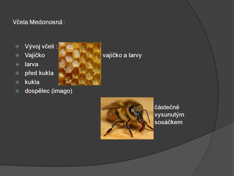 Včela Medonosná :  Vývoj včeli :  Vajíčko vajíčko a larvy  larva  před kukla  kukla  dospělec (imago) včela s částečně vysunutým sosáčkem