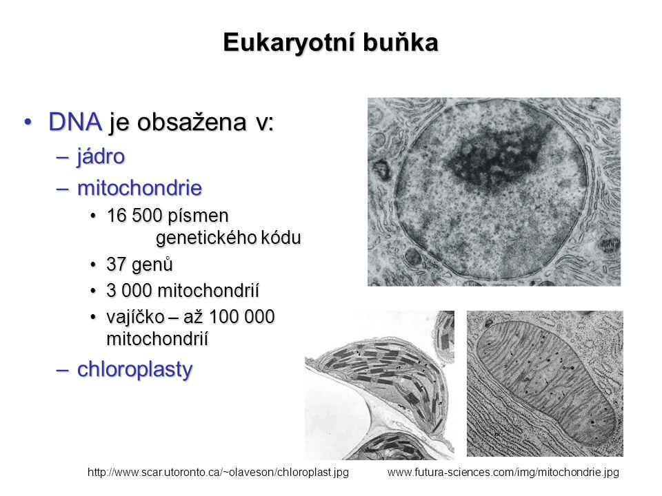 Eukaryotní buňka DNA je obsažena v:DNA je obsažena v: –jádro –mitochondrie 16 500 písmen genetického kódu16 500 písmen genetického kódu 37 genů37 genů