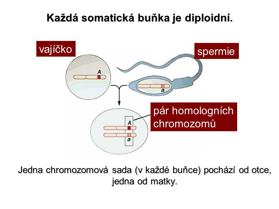 Každá somatická buňka je diploidní. Jedna chromozomová sada (v každé buňce) pochází od otce, jedna od matky. vajíčko spermie pár homologních chromozom