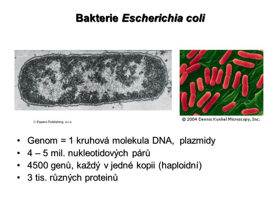 Bakterie Escherichia coli Genom = 1 kruhová molekula DNA, plazmidyGenom = 1 kruhová molekula DNA, plazmidy 4 – 5 mil. nukleotidových párů4 – 5 mil. nu