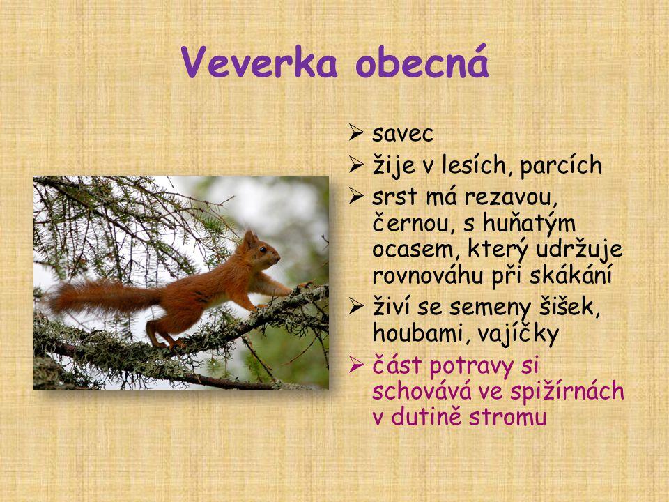 Veverka obecná  savec  žije v lesích, parcích  srst má rezavou, černou, s huňatým ocasem, který udržuje rovnováhu při skákání  živí se semeny šišek, houbami, vajíčky  část potravy si schovává ve spižírnách v dutině stromu