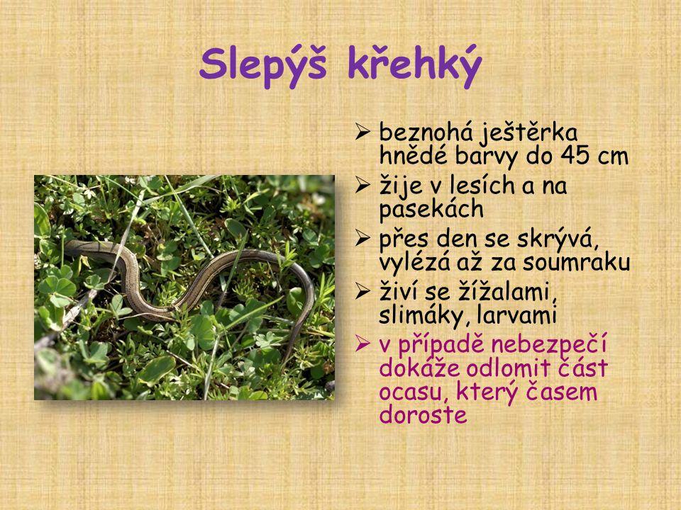Slepýš křehký  beznohá ještěrka hnědé barvy do 45 cm  žije v lesích a na pasekách  přes den se skrývá, vylézá až za soumraku  živí se žížalami, slimáky, larvami  v případě nebezpečí dokáže odlomit část ocasu, který časem doroste