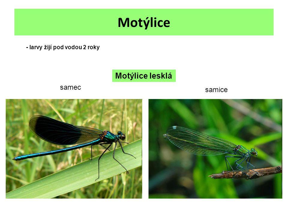 Motýlice Motýlice lesklá samec samice - larvy žijí pod vodou 2 roky