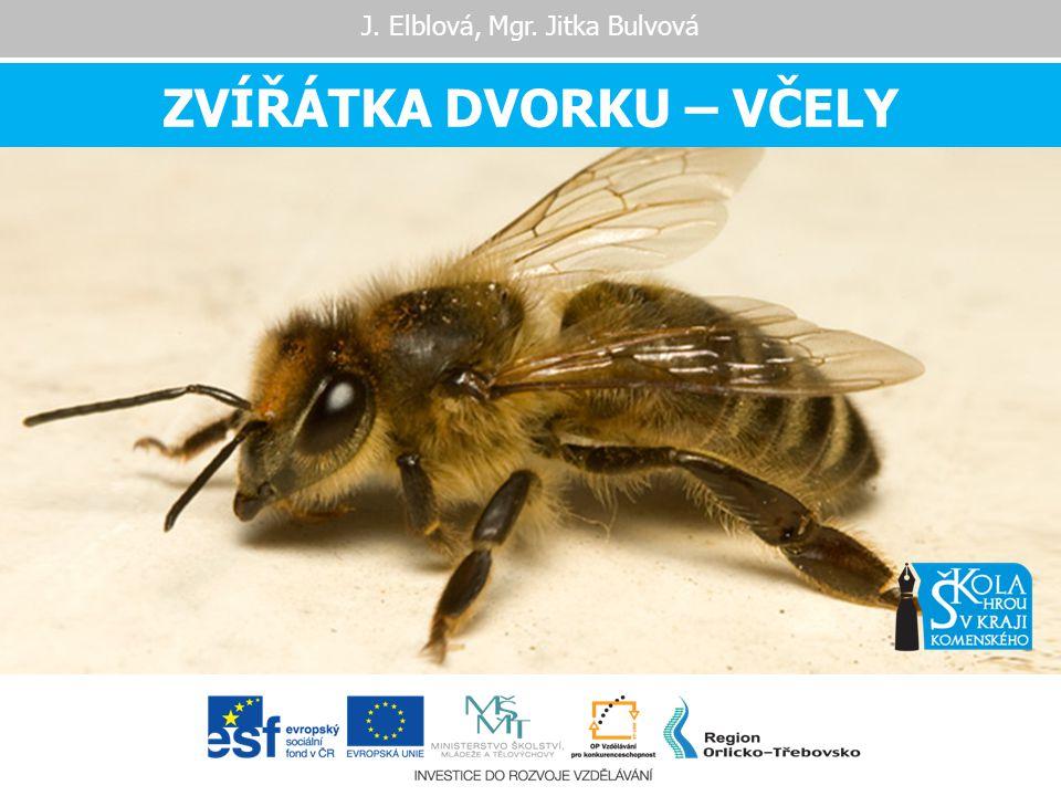 DĚLNICE  nejpočetnější složka ve včelstvu 30 000 – 50 000 v době hlavní snůšky 10 000 – 20 000 v době zimního klidu  mají nevyvinuté pohlavní orgány  líhnou se 21.