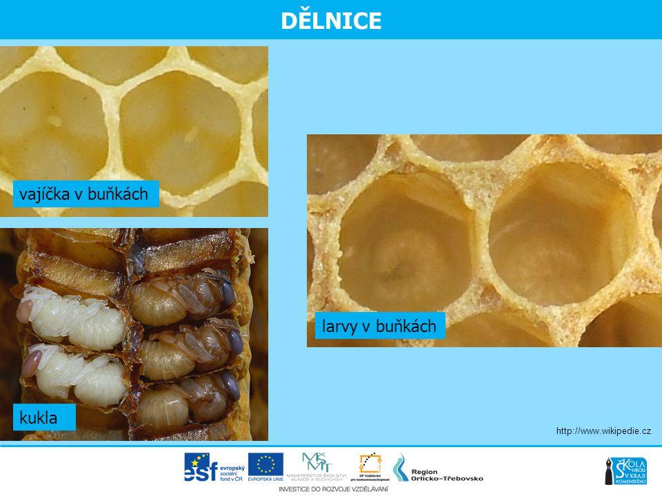 DĚLNICE larvy v buňkách kukla vajíčka v buňkách http://www.wikipedie.cz