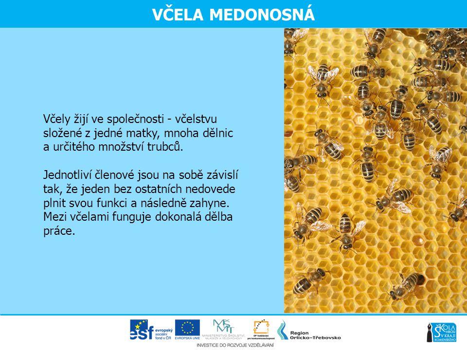 VČELA MEDONOSNÁ Včely žijí ve společnosti - včelstvu složené z jedné matky, mnoha dělnic a určitého množství trubců. Jednotliví členové jsou na sobě z