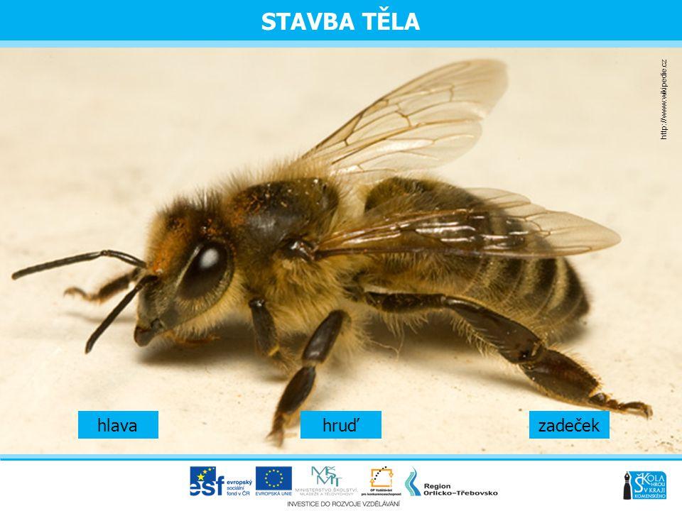 STAVBA TĚLA Hlava  tykadla, 2 složené oči, 3 jednoduché oči Hruď  nosič křídel (přední a zadní) a 3 páry nohou  na třetím páru jsou košíčky, do kterých sbírá pyl Zadeček  uloženy zažívací orgány, medový váček, jedová žláza,  vzdušné vaky a žihadlo (na konci má háček)  po bodnutí si včela žihadlo vytrhne i s jedovým váčkem a následně umírá