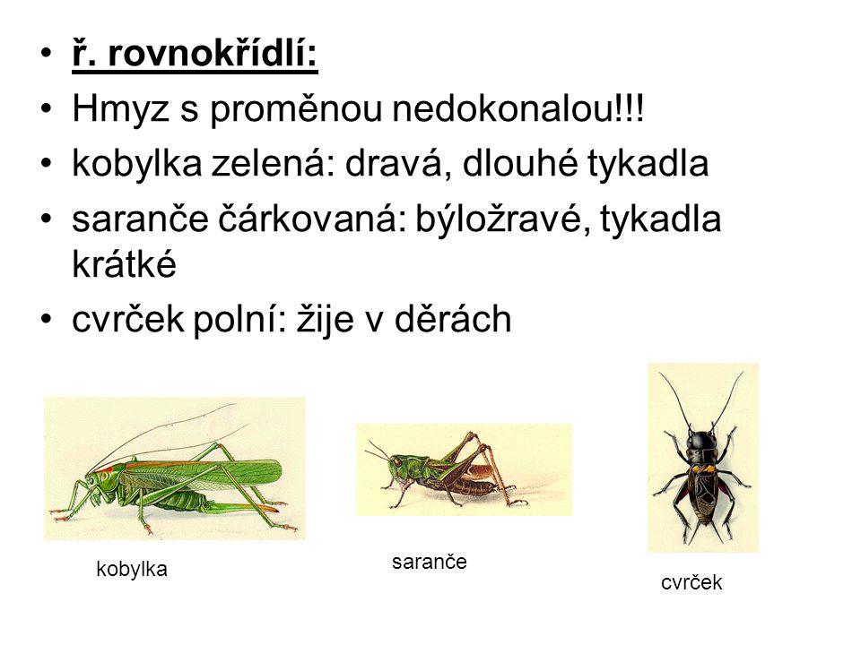 ř. rovnokřídlí: Hmyz s proměnou nedokonalou!!! kobylka zelená: dravá, dlouhé tykadla saranče čárkovaná: býložravé, tykadla krátké cvrček polní: žije v