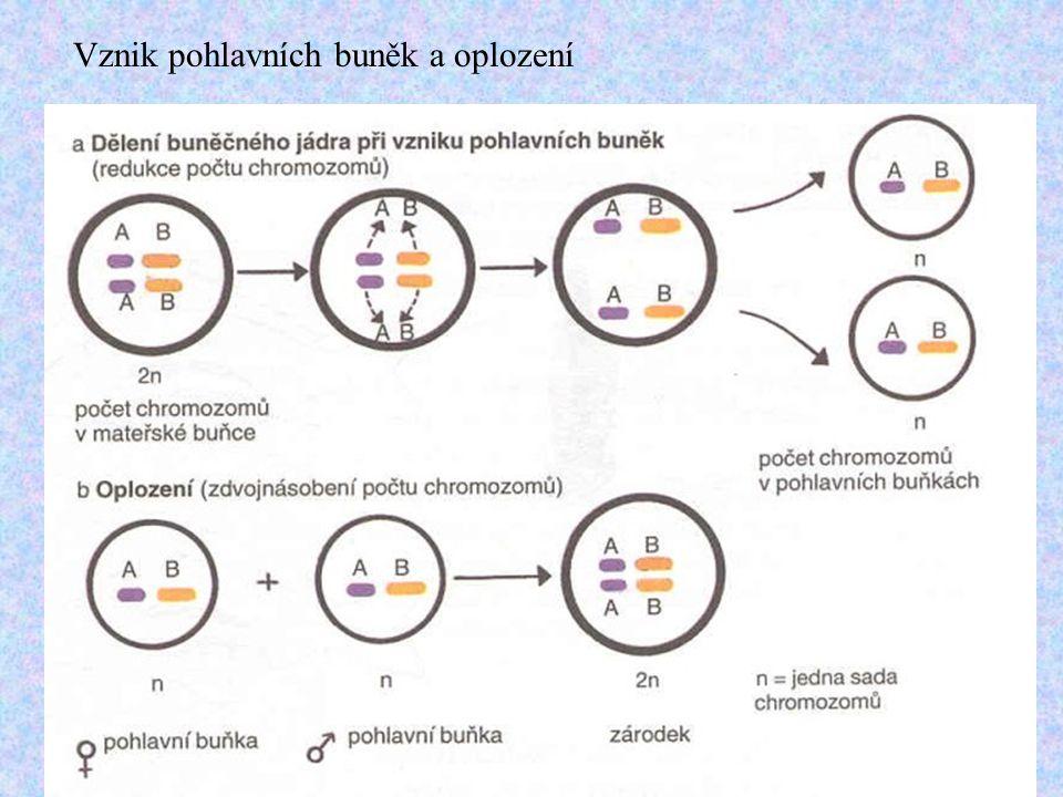 Vznik pohlavních buněk a oplození