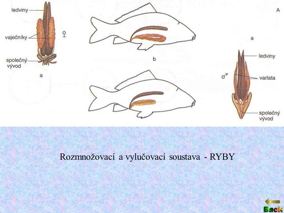 Rozmnožovací a vylučovací soustava - RYBY