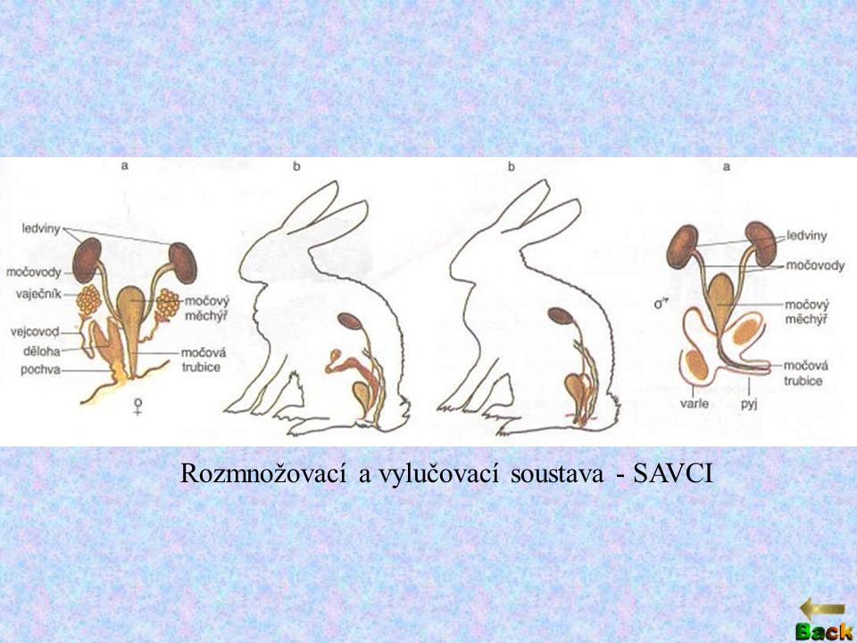 Rozmnožovací a vylučovací soustava - SAVCI