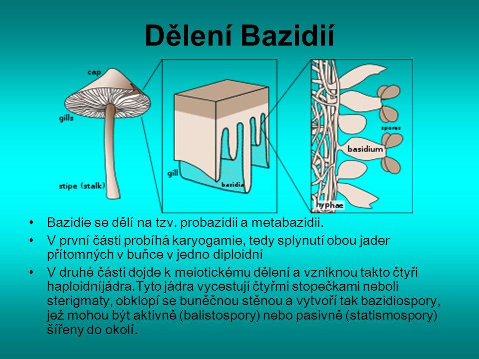 Dělení Bazidií Bazidie se dělí na tzv. probazidii a metabazidii. V první části probíhá karyogamie, tedy splynutí obou jader přítomných v buňce v jedno