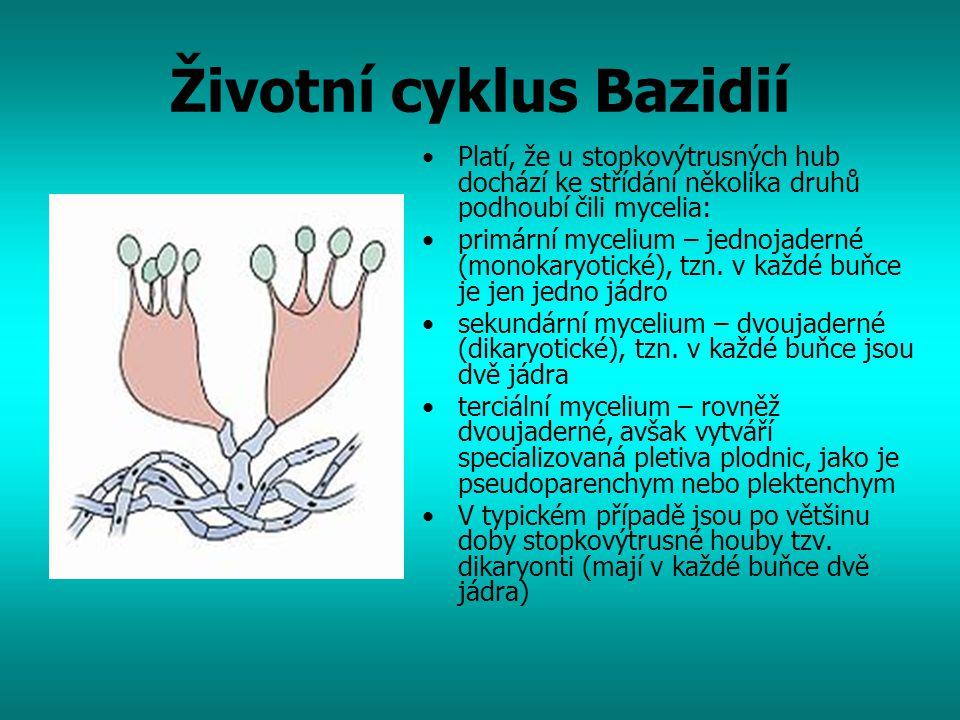 Životní cyklus Bazidií Platí, že u stopkovýtrusných hub dochází ke střídání několika druhů podhoubí čili mycelia: primární mycelium – jednojaderné (mo