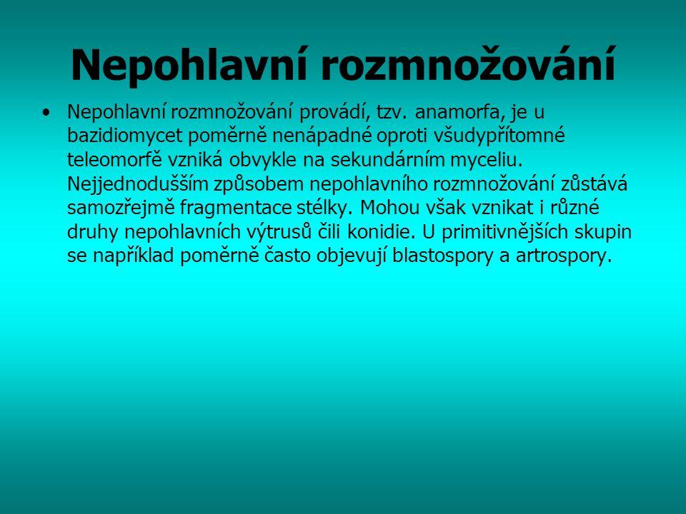Nepohlavní rozmnožování Nepohlavní rozmnožování provádí, tzv. anamorfa, je u bazidiomycet poměrně nenápadné oproti všudypřítomné teleomorfě vzniká obv