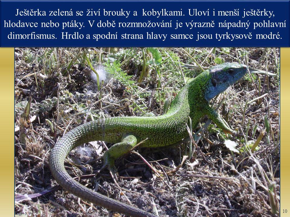 Obr. č. 9 Ještěrka zelená se živí brouky a kobylkami. Uloví i menší ještěrky, hlodavce nebo ptáky. V době rozmnožování je výrazně nápadný pohlavní dim