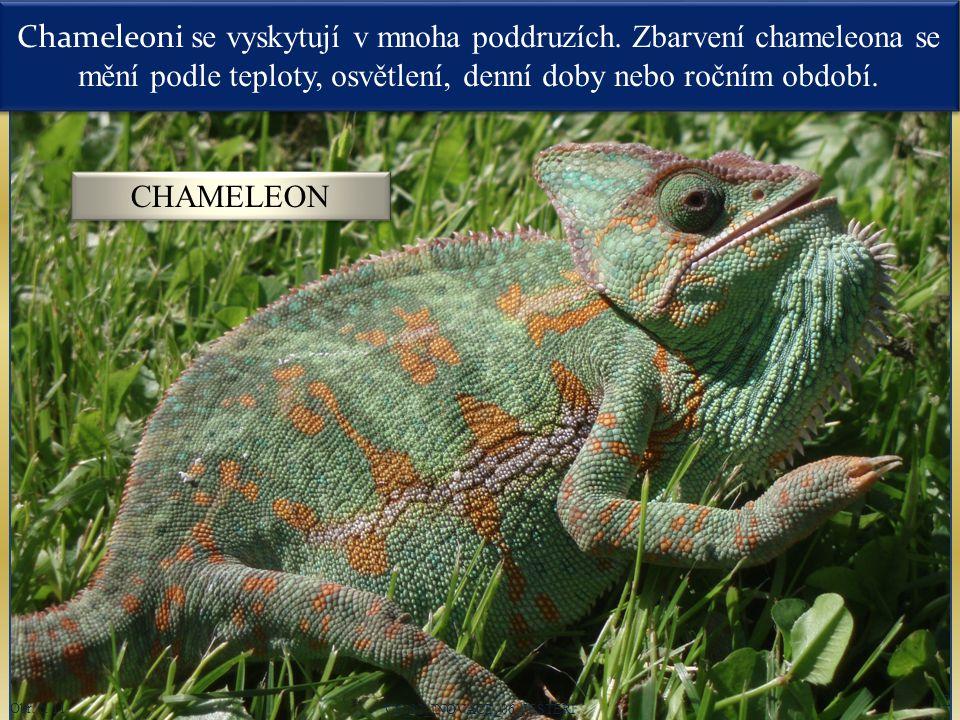Chameleoni se vyskytují v mnoha poddruzích. Zbarvení chameleona se mění podle teploty, osvětlení, denní doby nebo ročním období. VY_32_INOVACE_06_JEŠT