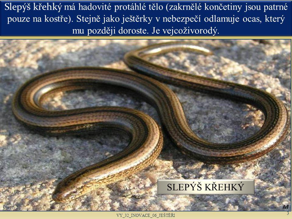 Slepýš křehký má hadovité protáhlé tělo (zakrnělé končetiny jsou patrné pouze na kostře). Stejně jako ještěrky v nebezpečí odlamuje ocas, který mu poz
