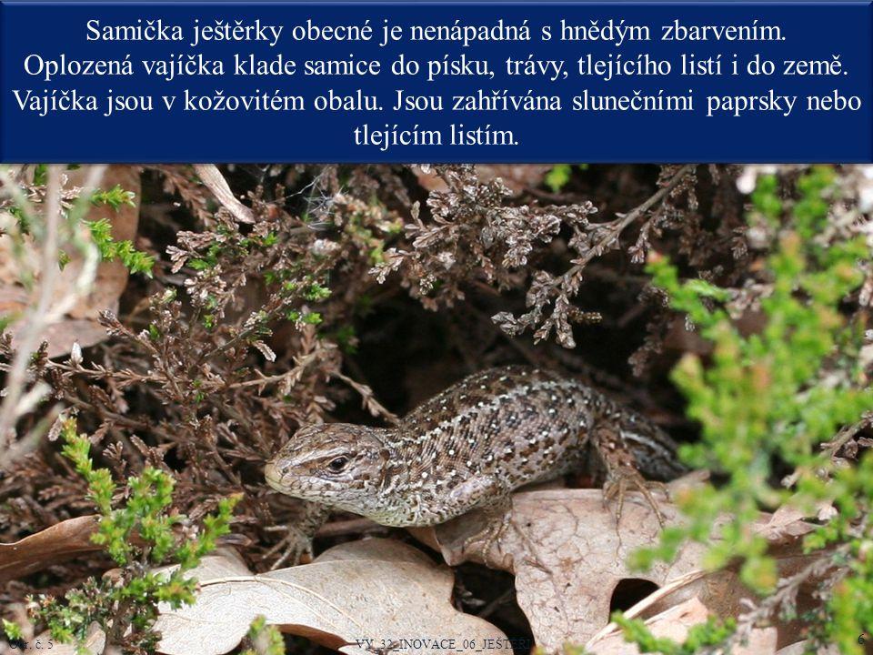 Samička ještěrky obecné je nenápadná s hnědým zbarvením. Oplozená vajíčka klade samice do písku, trávy, tlejícího listí i do země. Vajíčka jsou v kožo