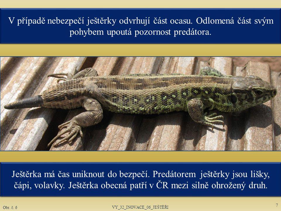 V případě nebezpečí ještěrky odvrhují část ocasu. Odlomená část svým pohybem upoutá pozornost predátora. VY_32_INOVACE_06_JEŠTĚŘI 7 Obr. č. 6 Ještěrka