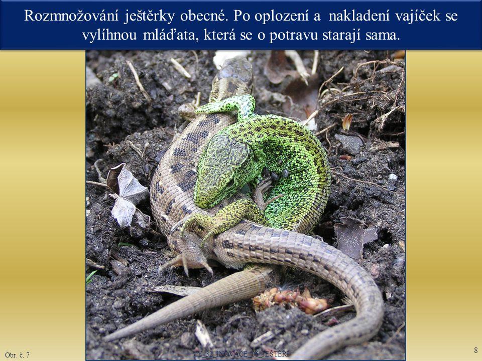 Rozmnožování ještěrky obecné. Po oplození a nakladení vajíček se vylíhnou mláďata, která se o potravu starají sama. VY_32_INOVACE_06_JEŠTĚŘI 8 Obr. č.