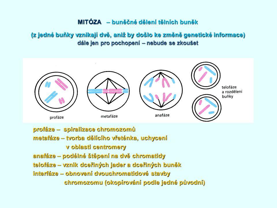 MITÓZA – buněčné dělení tělních buněk (z jedné buňky vznikají dvě, aniž by došlo ke změně genetické informace) dále jen pro pochopení – nebude se zkou