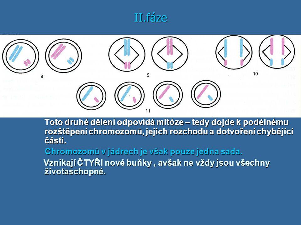 II.fáze Toto druhé dělení odpovídá mitóze – tedy dojde k podélnému rozštěpení chromozomů, jejich rozchodu a dotvoření chybějící části. Toto druhé děle