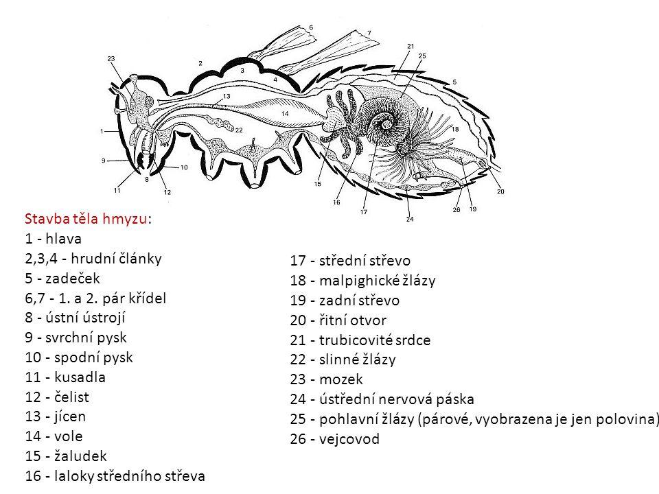 Stavba těla hmyzu: 1 - hlava 2,3,4 - hrudní články 5 - zadeček 6,7 - 1. a 2. pár křídel 8 - ústní ústrojí 9 - svrchní pysk 10 - spodní pysk 11 - kusad