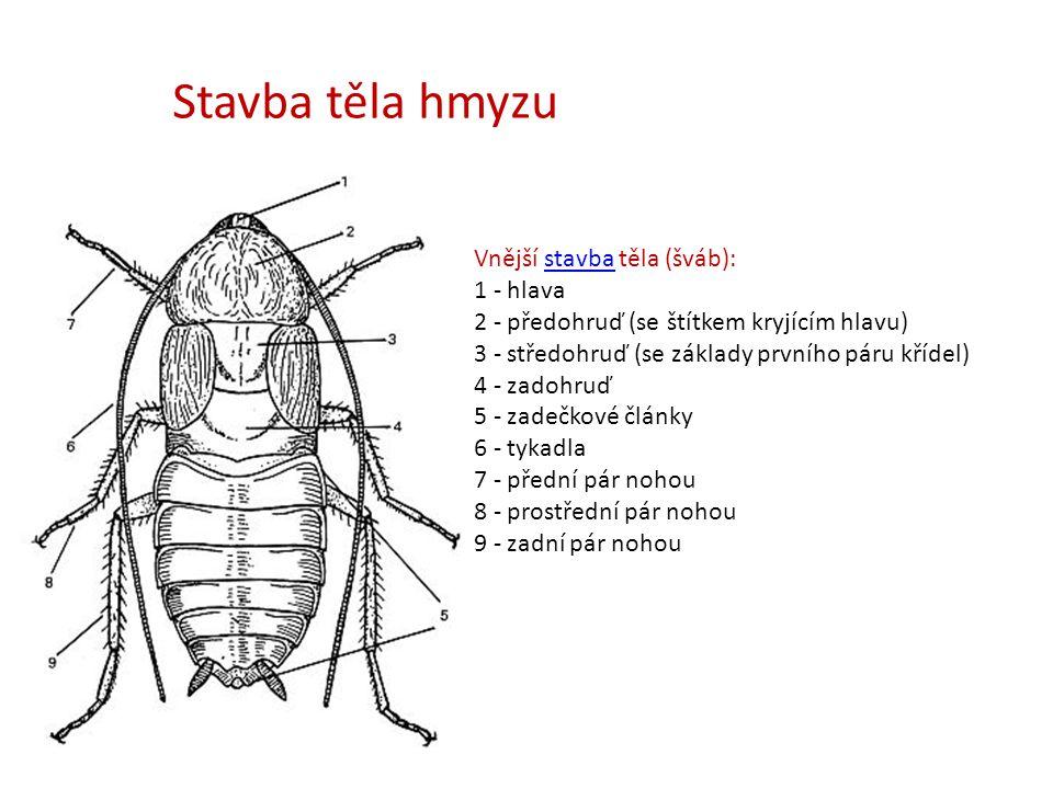 Vnější stavba těla (šváb): 1 - hlava 2 - předohruď (se štítkem kryjícím hlavu) 3 - středohruď (se základy prvního páru křídel) 4 - zadohruď 5 - zadečk