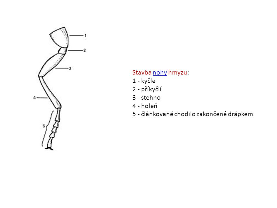 Stavba nohy hmyzu: 1 - kyčle 2 - příkyčlí 3 - stehno 4 - holeň 5 - článkované chodilo zakončené drápkemnohy