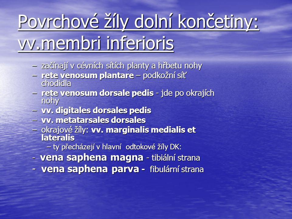 Povrchové žíly dolní končetiny: vv.membri inferioris –začínají v cévních sítích planty a hřbetu nohy –rete venosum plantare – podkožní síť chodidla –r